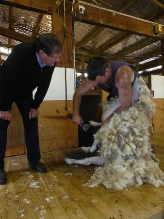 Seddon, Nova Zelândia: Sheep shearing at Barewood gardens