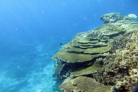 Lady Elliot Island, Australia: Coral from snorkeling