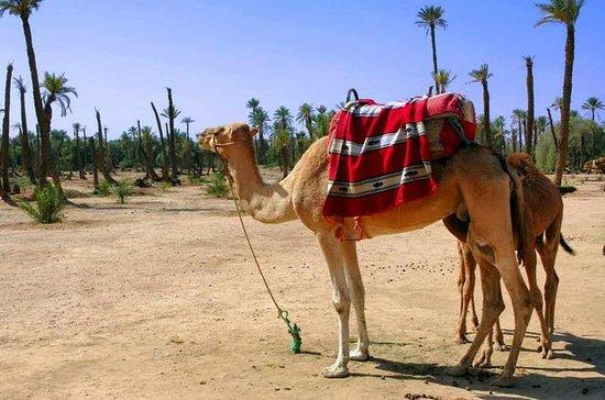 Dos horas de paseo en camello en...