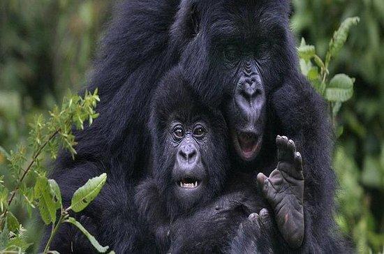 Excursão de dia de passeio de gorila...
