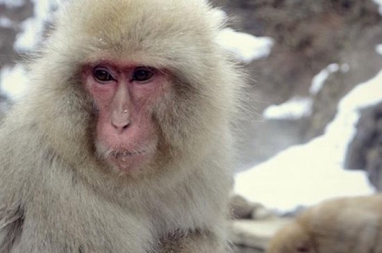 See Snow Monkeys on a Private Day...