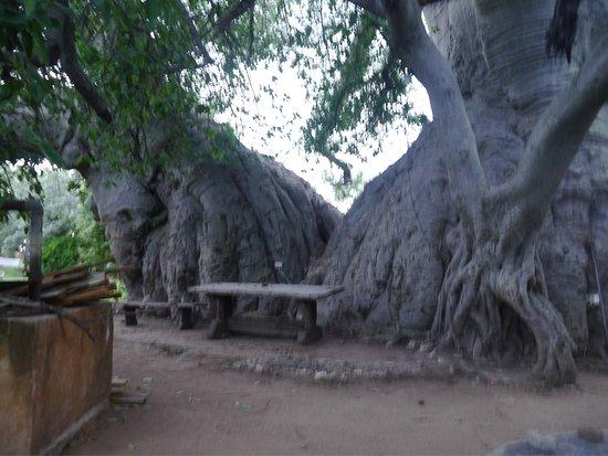 Limpopo Province, Sydafrika: Sunland Baobab