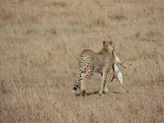 Rekero Camp, Asilia Africa: cheetah kill