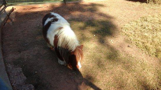 Pine Mountain, GA: Miniture Horse