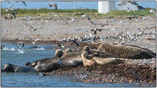 Barrow-in-Furness, UK: Grey seals on neighbouring Walney Island