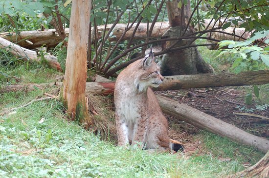 Two Rivers Wildlife Park: Luchs Papa