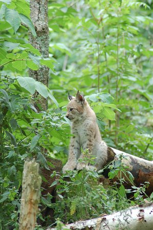 Two Rivers Wildlife Park: Luchs Baby