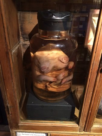 The Museum of Witchcraft and Magic: Two headed pig that can be found upstairs in the museum