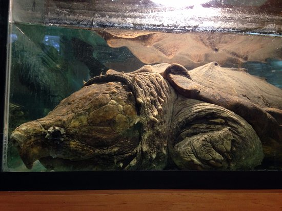 Bolton, MA: Rescued Alligator Snapping Turtle