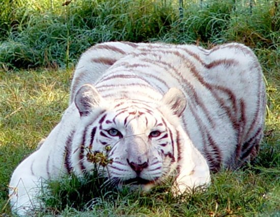 Zabu - Picture of Big Cat Rescue, Tampa - TripAdvisor