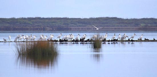 Royal spoonbills, herons, terns and gulls on the wetlands in Okarito