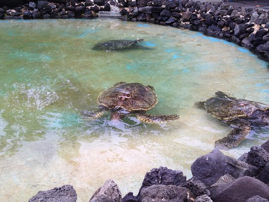 Sea Life Park Hawaii: Sea Turtles at Sea Life Park