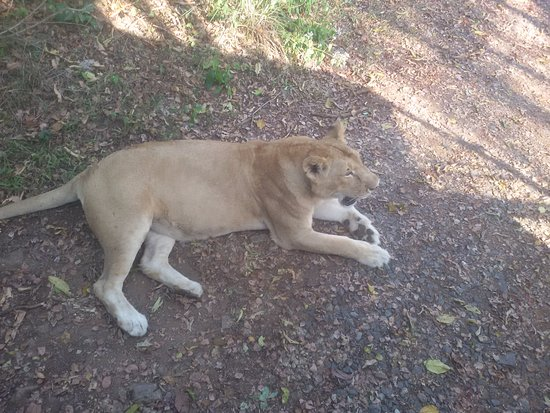 Neyyar Wild Life Sanctuary: The Lioness we saw on the way
