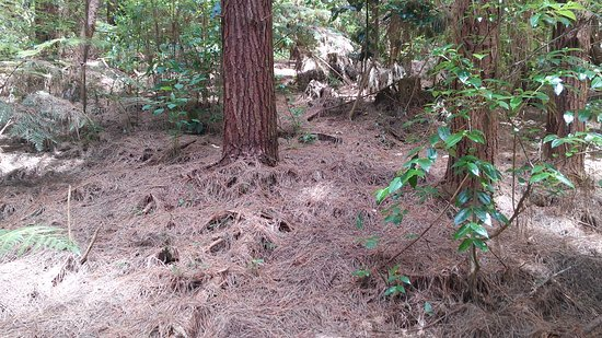 Warkworth, Nueva Zelanda: Ground covered with pine's needles.