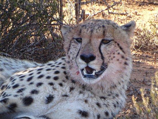 Kwandwe Private Game Reserve, Sudáfrica: Male cheetah