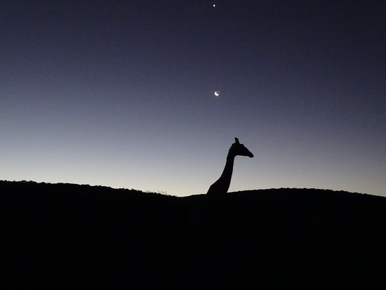 Kwandwe Private Game Reserve, Sudáfrica: Giraffe in the evening with the moon and Venus