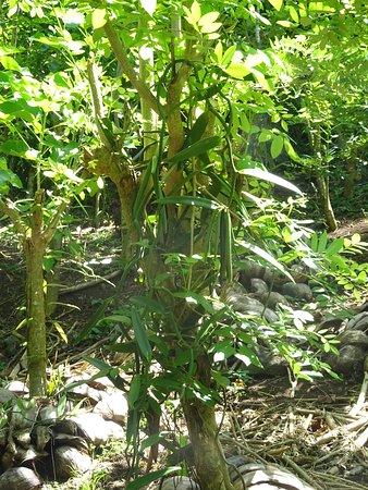 Patio, Polinesia Francesa: A Vanilla plant.