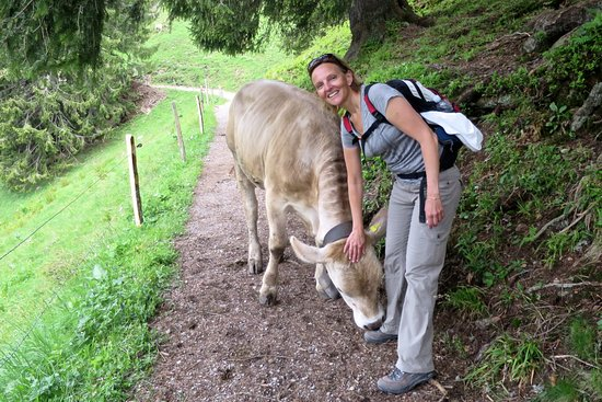 Stäfa, Suiza: Alp-summer: Grasing cows are essential for the Swiss Alp pastures.