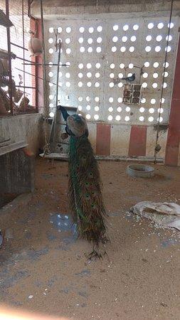 Sriperumbudur, India: Peacock inside Temple