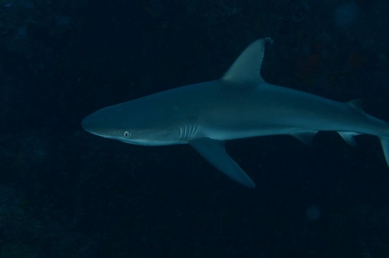 Grand Case, St-Martin/St Maarten : Reef Shark