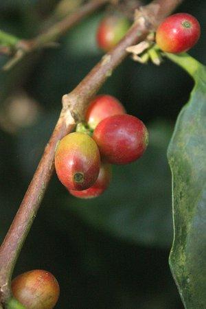 The Serai: ripe coffee beans- the coffee walk