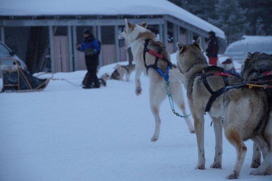 Salla, Finlandia: Die Huskies können es kaum erwarten losuzlaufen
