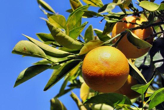 PrimaSol Hane Garden: Ein Orangenhain gehört zum Außenbereich.