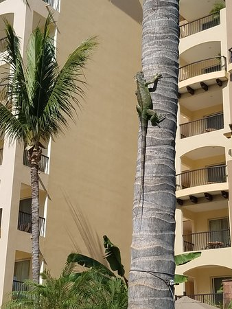 Villa del Palmar Flamingos: Several iguanas hang out in the trees and even swim across the pool to get from tree to tree.