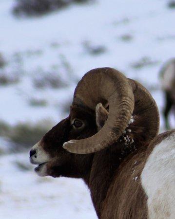 Jackson Hole, WY: My first bighorn sheep photo!!