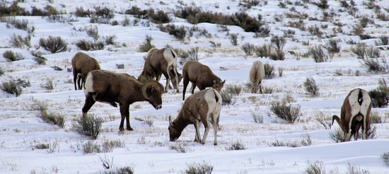 Jackson Hole, WY: Rocky Mtn Bighorn sheep