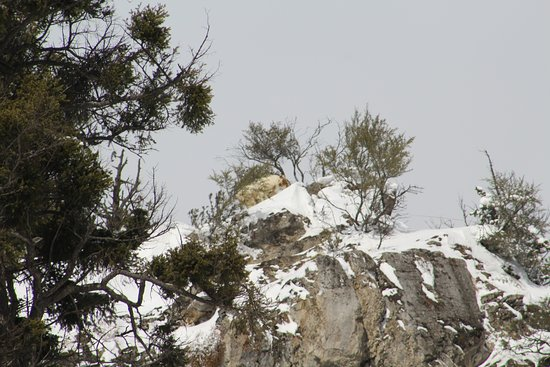 Jackson Hole, WY: Mtn goat with Zoom lens
