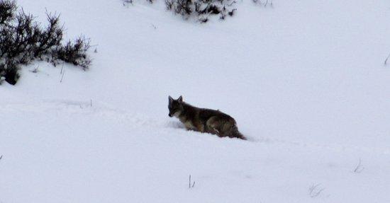 Jackson Hole, WY: coyote