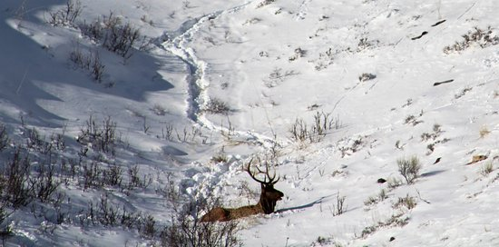 Jackson Hole, Ουαϊόμινγκ: Bedded bull elk (not on refuge)