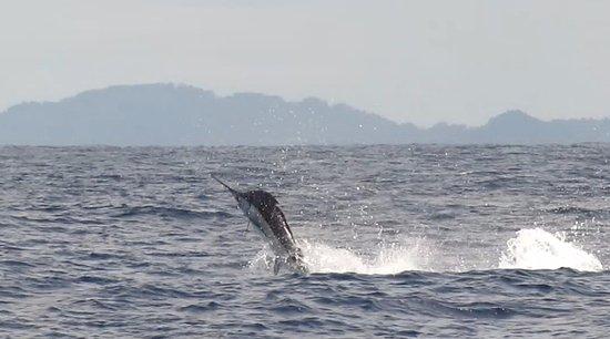 Boca Chica, Panama: Reel Inn Fishing Charters fishes for Marlin-Black & Blue, Sailfish, Wahoo, Dorado, Tuna & more!