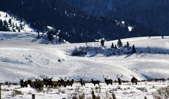 "Jackson Hole, WY: ""Band of Bulls"" on the refuge"