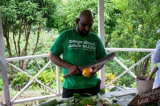 Roxborough, Tobago: Estate employee cutting a cocoa open for visitors to sample.