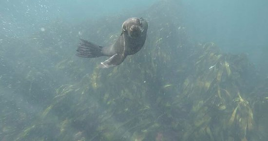 Hout Bay, South Africa: Seal snorkeling