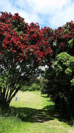 New Plymouth, New Zealand: pohutukawa (NZ Christmas tree)