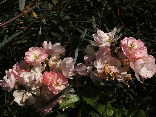 Plobsheim, France : De jolies roses anciennes au parfum délicat
