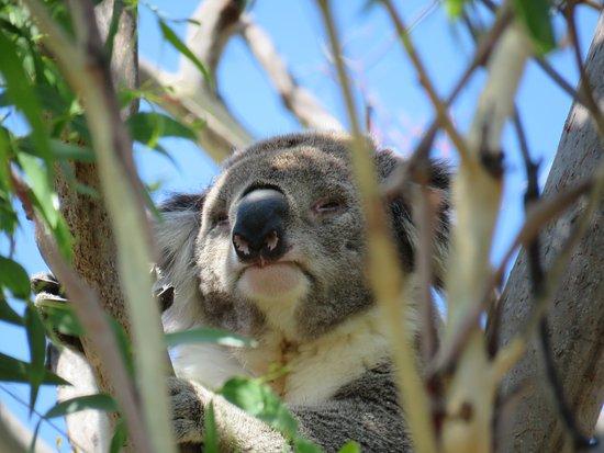 Koala in de vrije natuur