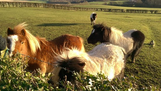 Prestwick, UK: Shetland ponies nearby