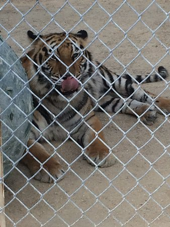 Octagon Wildlife Sanctuary And Rehabilitation Center: Tiger licking his lips (we must look delicious?)