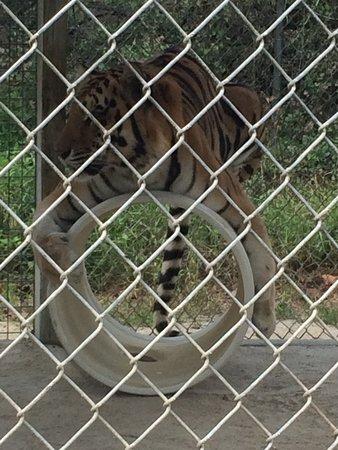 Octagon Wildlife Sanctuary And Rehabilitation Center: Tiger playing