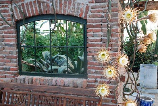 Ruurlo, Países Bajos: Seleensereus Grandifloris ( Konigin van de Nacht)
