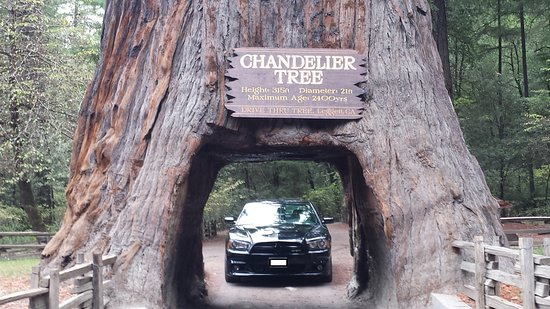 2014 Dodge Charger SRT - Picture of Chandelier Drive-Through Tree ...