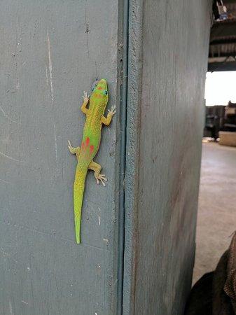 Kealakekua, ฮาวาย: A gecko at the Greenwell Kona Coffee Farms