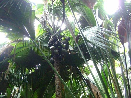 Acajou Beach Resort: Le coco-fesse dans la vallée de Mai à voir