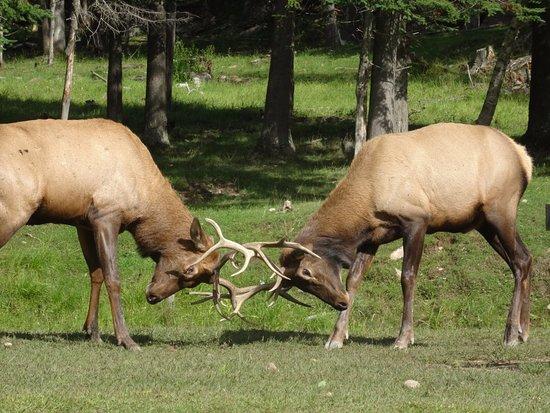 Montebello, Canada: Cerfs