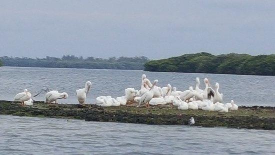 Bradenton Beach, FL: White Pelicans