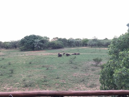Pezulu Tree House Game Lodge: View from terrace of Buffalo grazing